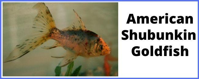 American Shubunkin goldfish
