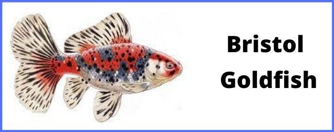 Bristol goldfish