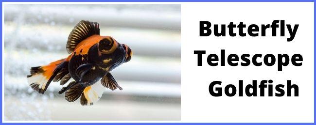 Butterfly Telescope goldfish