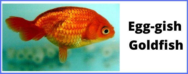 Egg-gish goldfish